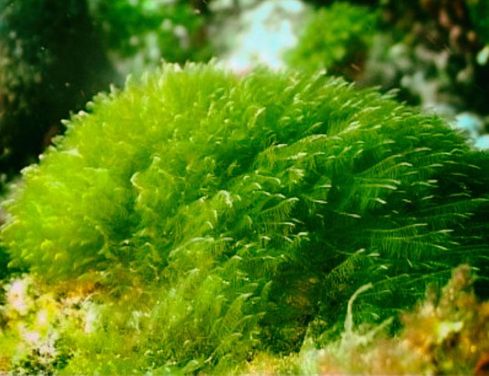 Algas marinas - beneficios en la salud