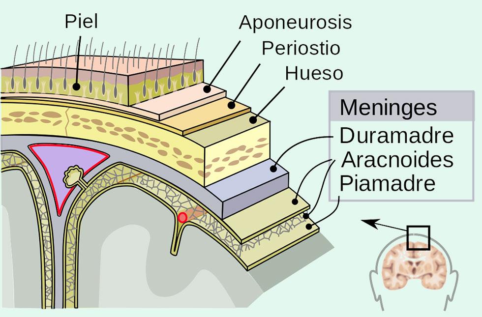 Craneosacral como apoyo a la lactancia materna: las meninges y el tubo dural