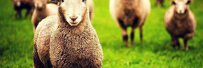 El cuento del mago y las ovejas