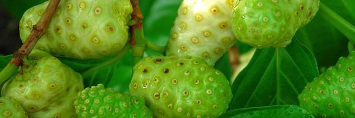 Efectos terapéuticos del Noni (Morinda Citrifolia)
