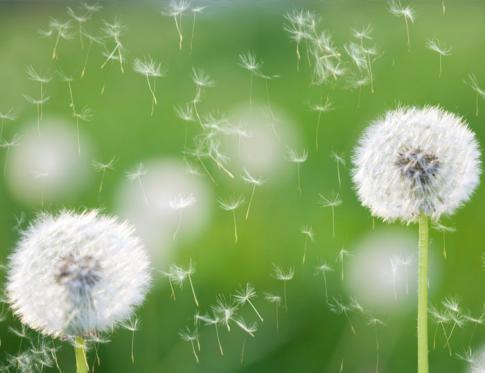 Tratamientos para la alergia al polen mediante Medicina tradicional china